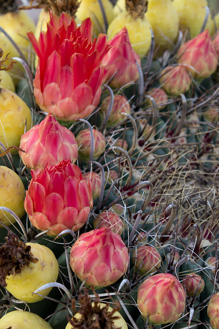 barrel cactus flowers