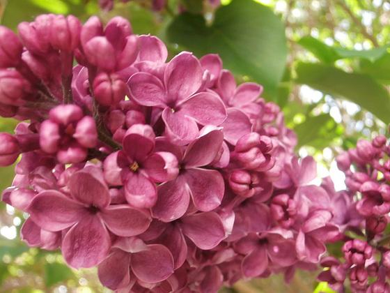 The dark purple lilac