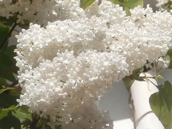 The white blossom smells gorgeous
