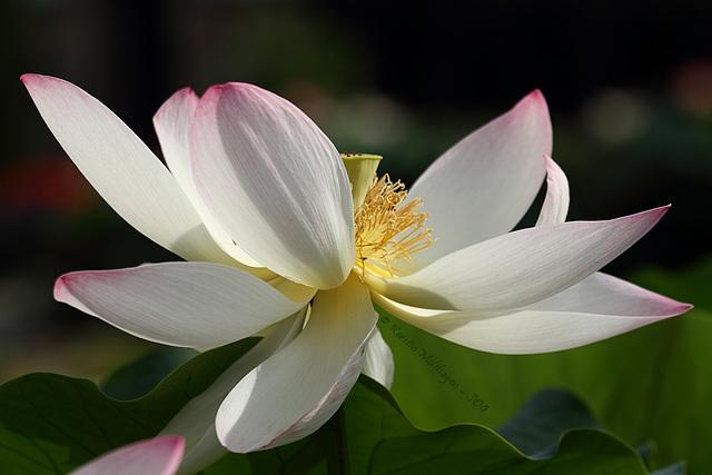 Lotosblüte (Wilhelma)