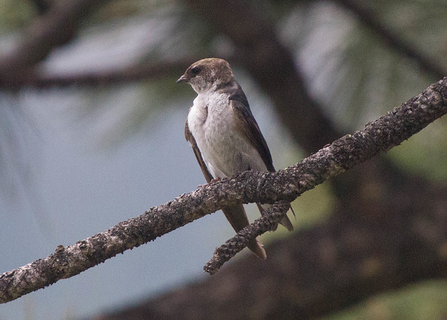 Juvenile Violet-Green Swallow