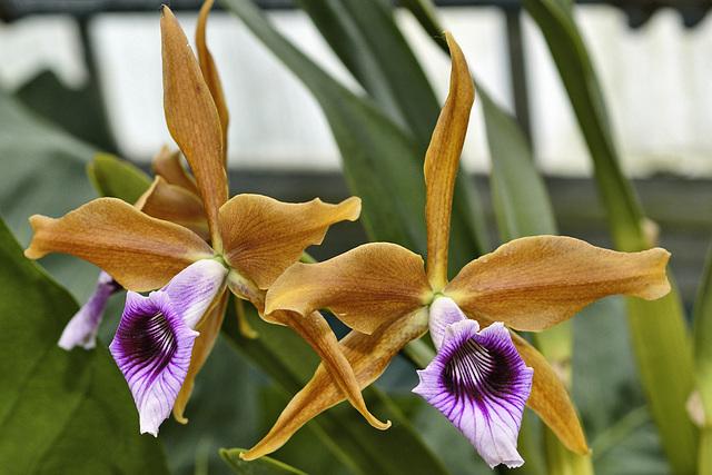 "Sophronitis Tenebrosa ""Rainforest"" – Botanical Garden, Montréal, Québec"
