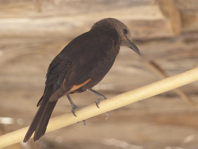Studies of Tristram's Starling (2) - 20 May 2014