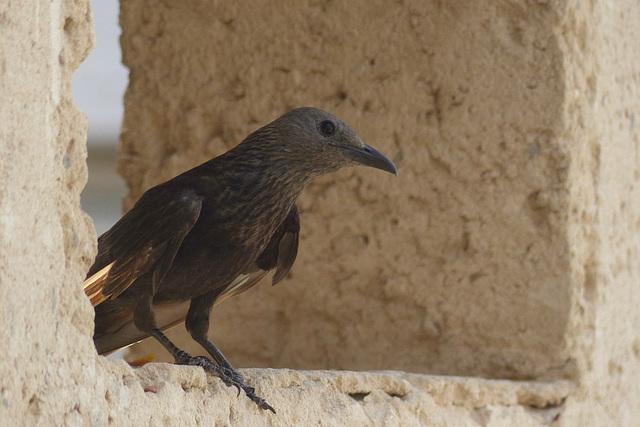 Studies of Tristram's Starling (4) - 20 May 2014
