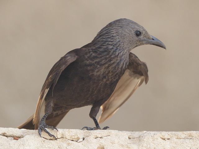 Studies of Tristram's Starling (5) - 20 May 2014