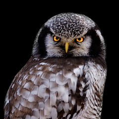 Sperbereule ./. Northern Hawk-Owl ./. Chouette épervière