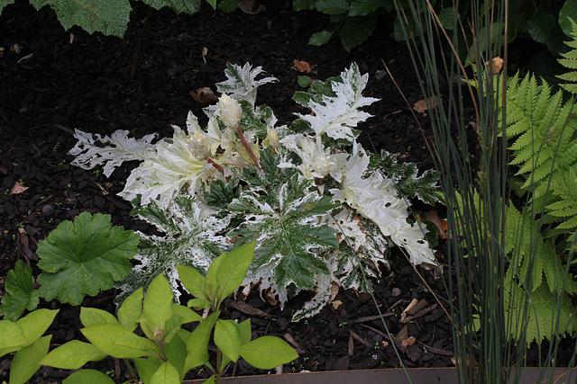 Le jardin déchêné-Acanthe Tasmanian Angel