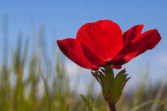 R is for Red Ranunculaceae (Anemone) (+3 insets)