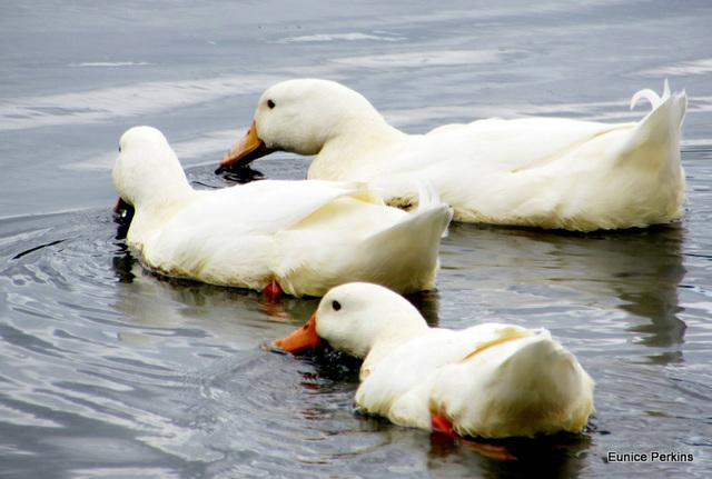 Three White Ducks