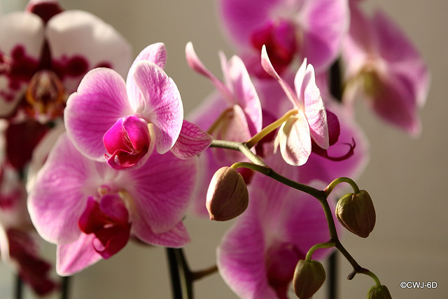At what stage do you become a Phalaenopsiphiliac - 5, 10, 20 orchids?