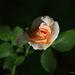 A Rose Bud