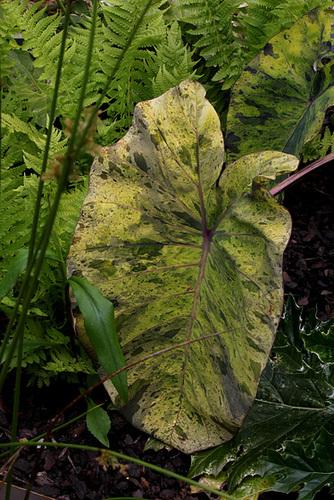 Le jardin déchêné-Colocasia esculenta 'Mojito') (3)