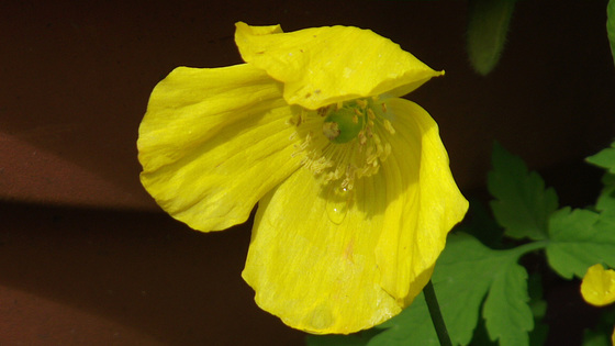 Icelandic poppies are popping up everywhere
