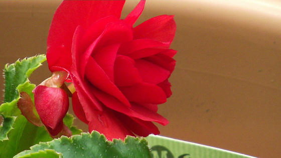 Lovely red begonia