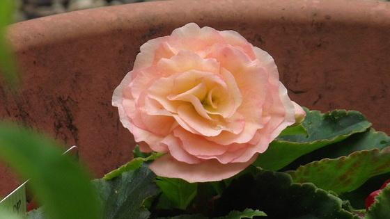 Peachy pink begonia