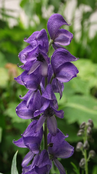Monkshood - just been told what it is