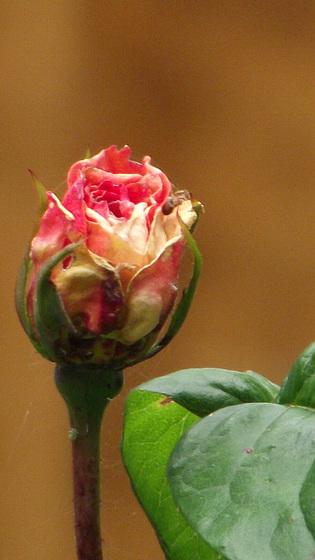 A lovely rose bud