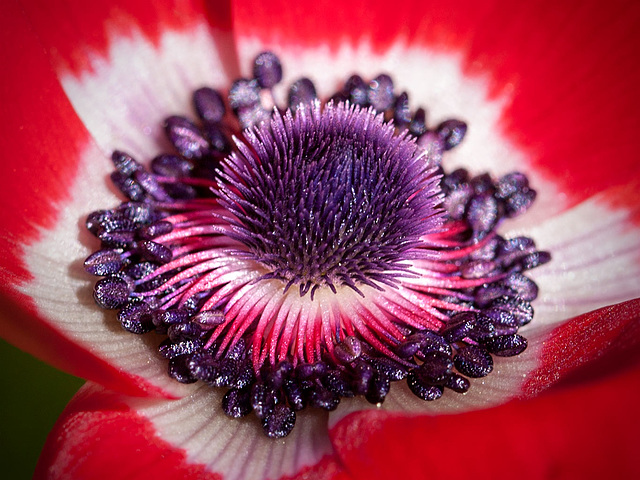 Heart of a Red Anemone