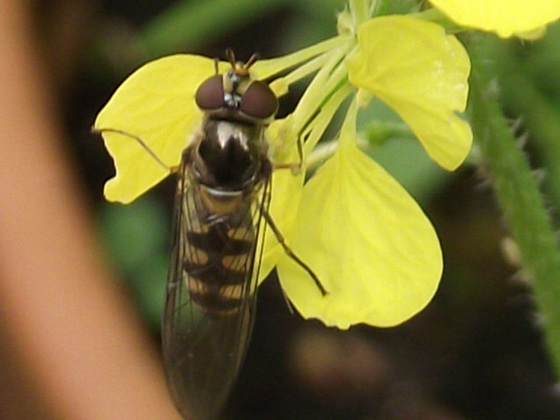 Strange bee on the new yellow flower