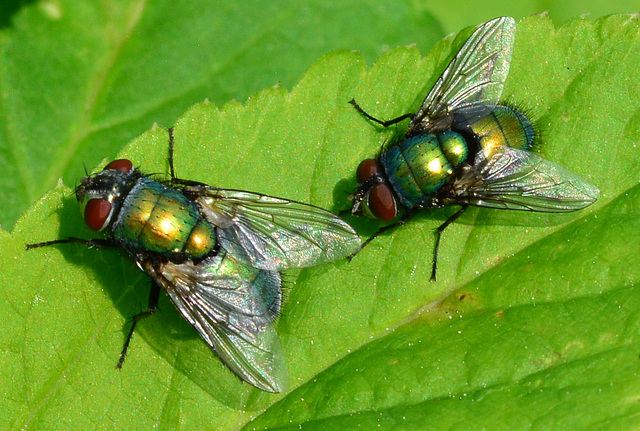 Greenbottle(blow-fly) Lucilia caesar