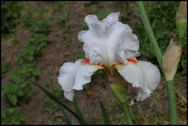 Iris Neige de Mai