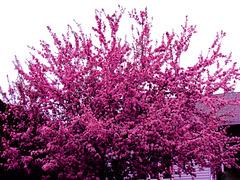 Pommier décoratif…..