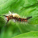 Rusty Tussock Moth or Vapourer Moth - Orgyia antiqua