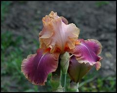 Iris Carnaby