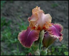 Iris Carnaby (2)