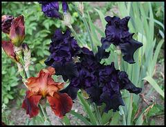 Iris Hello Darkness