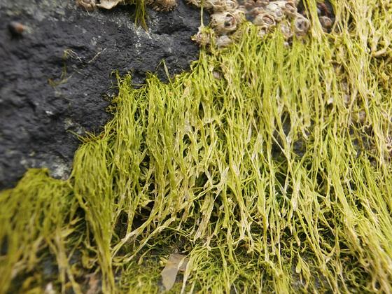 Seaweed stuck to the big rock