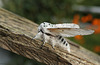 Puss Moth Male