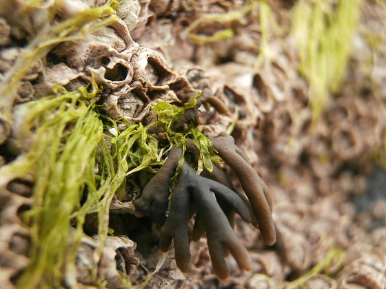 All together now - barnacles, seaweed of two kinds