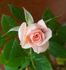 una mia rosellina