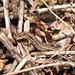 Common Lizard On The Hunt
