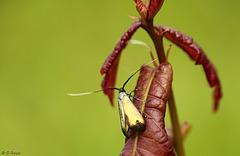 Adela reaumurella Female