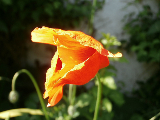 I think this is a Californian poppy - cos it's orange