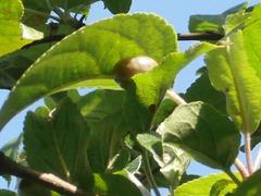 A tiny snail has climbed all the way up the apple tree