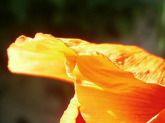 The gorgeous orange petals...........