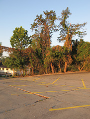 Dead vines and living trees at a parking lot this morning.