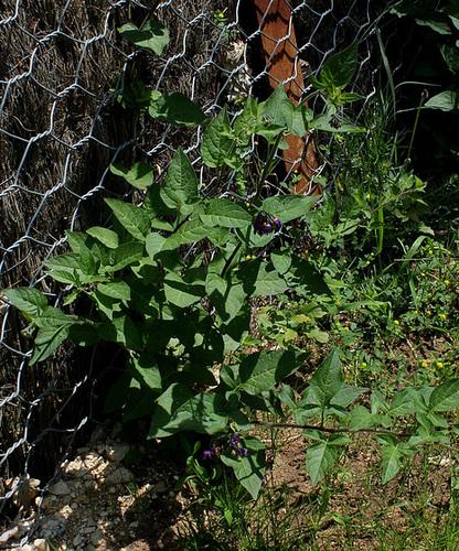Solanum dulcamara (2)