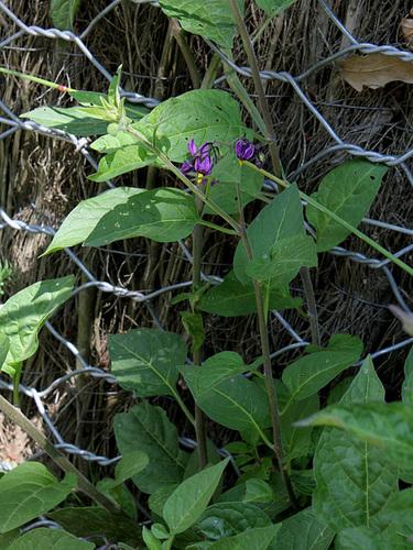 Solanum dulcamara (3)