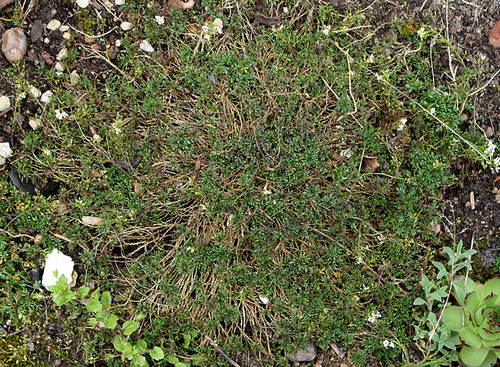 Pritzelago alpina = Hutchinsia alpina
