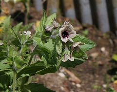 Les fleurs maudites-Jusquiame noire