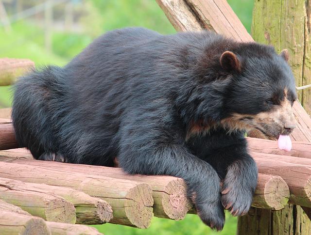 Andean Bear.