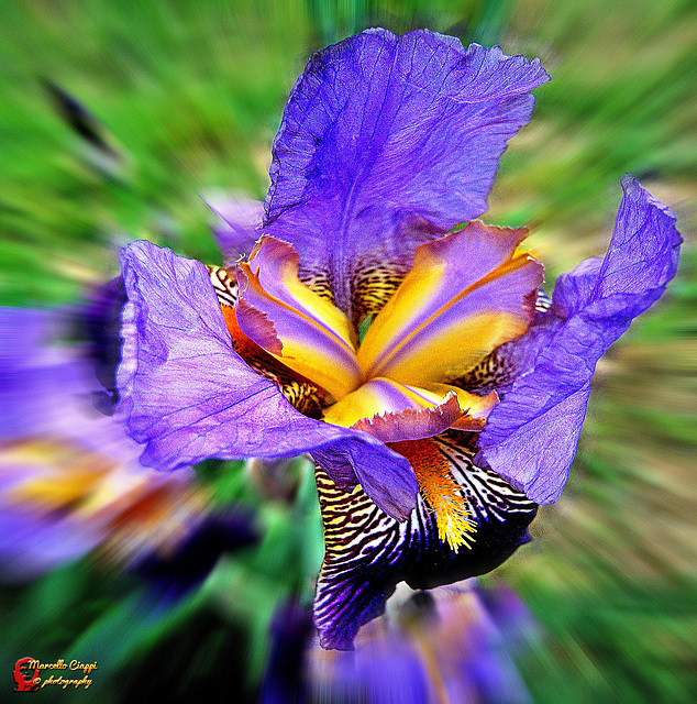 Giaggiolo - Iris  (ON EXPLORE)