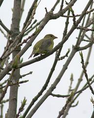 piranga écarlate femelle/female scarlet tanager