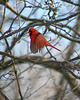 cardinal rouge mâle/red cardinal male