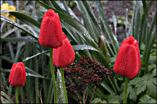 Red wet tulips