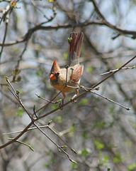 cardinal rouge femelle/female red cardinal